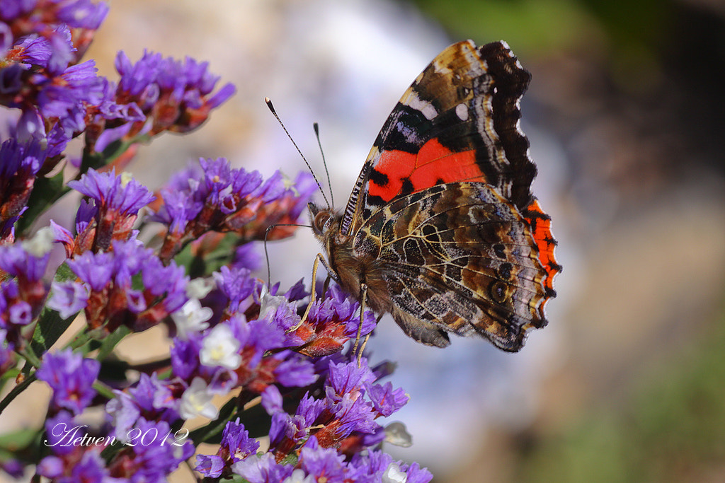 Photograph The Canary Red Admiral  by Antonio T.V. on 500px
