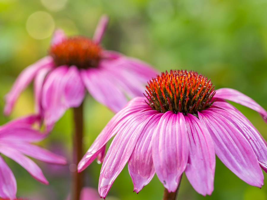 Photograph Closeup view of wet, pink coneflower by Frank Hoekzema on 500px