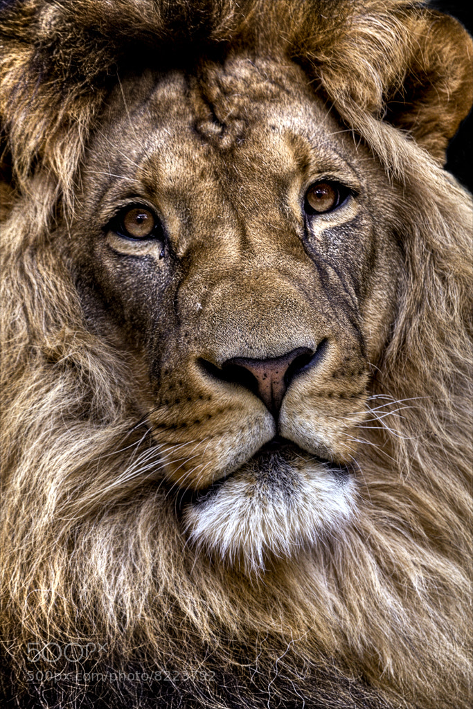 Photograph Lion by Ander Aguirre on 500px