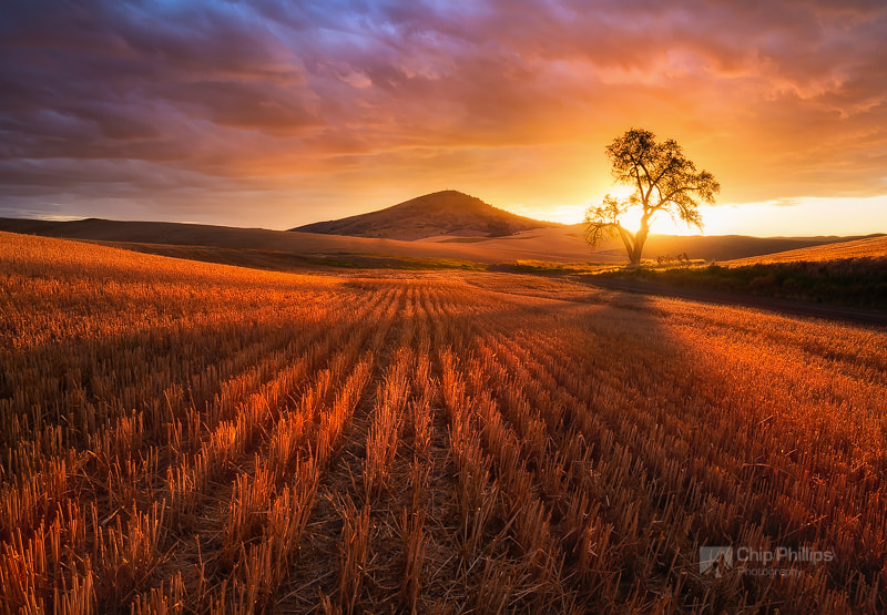 Golden Wheat Field Sunset by Chip Phillips on 500px.com