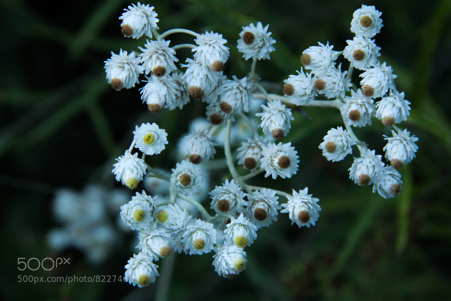 Photograph Pearly Everlasting by Andy Zahn on 500px