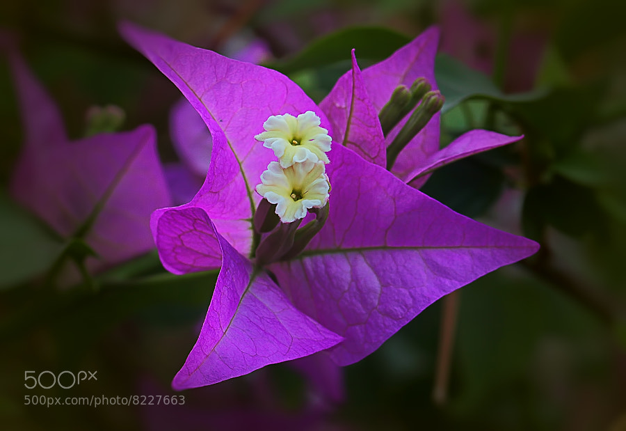 Photograph Bougainville by Wim Bolsens on 500px