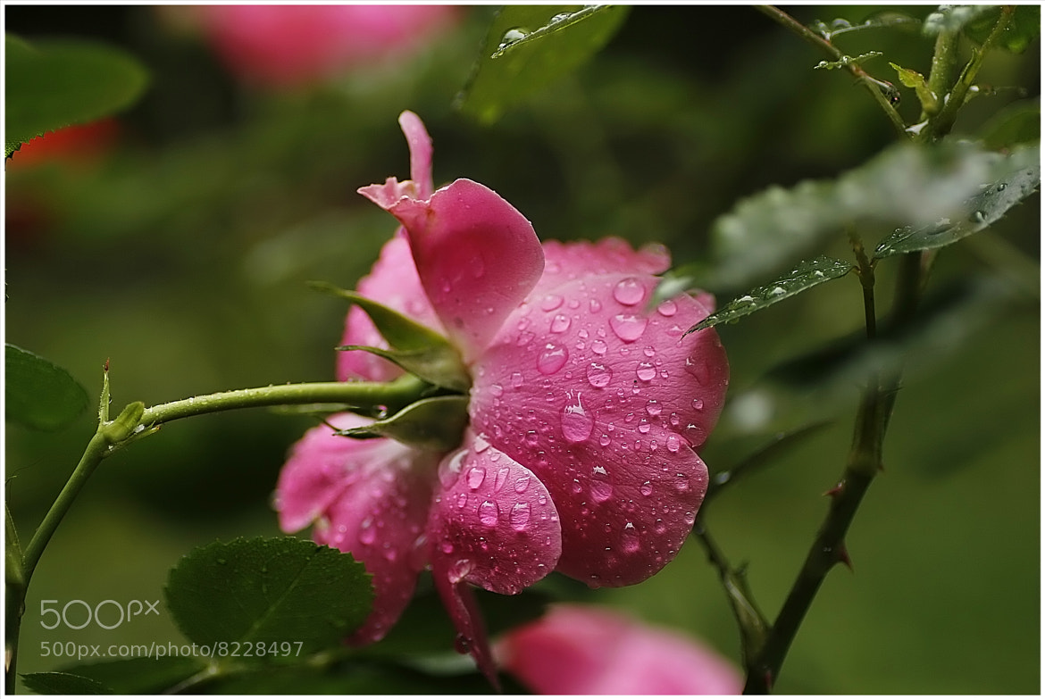 Photograph Rose in the rain by Frank Weil a. Rh. on 500px