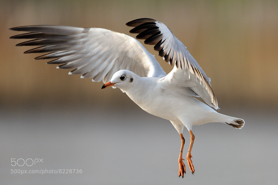 Photograph Gull by Surachai Chartsuwan on 500px