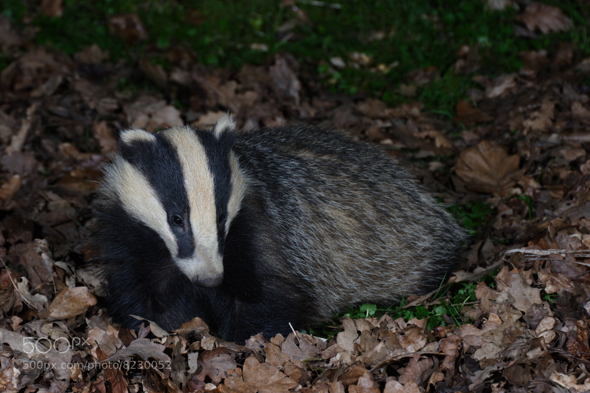 Photograph Badger cub by Alonza  Garbett on 500px