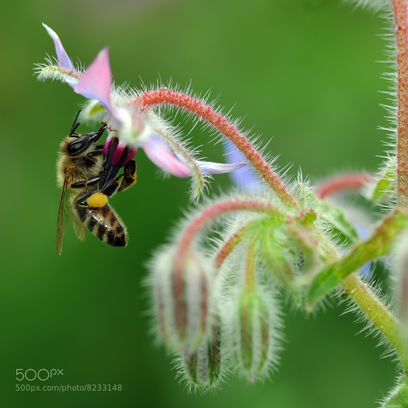 Photograph bee and flower of borage by Franco Mottironi on 500px