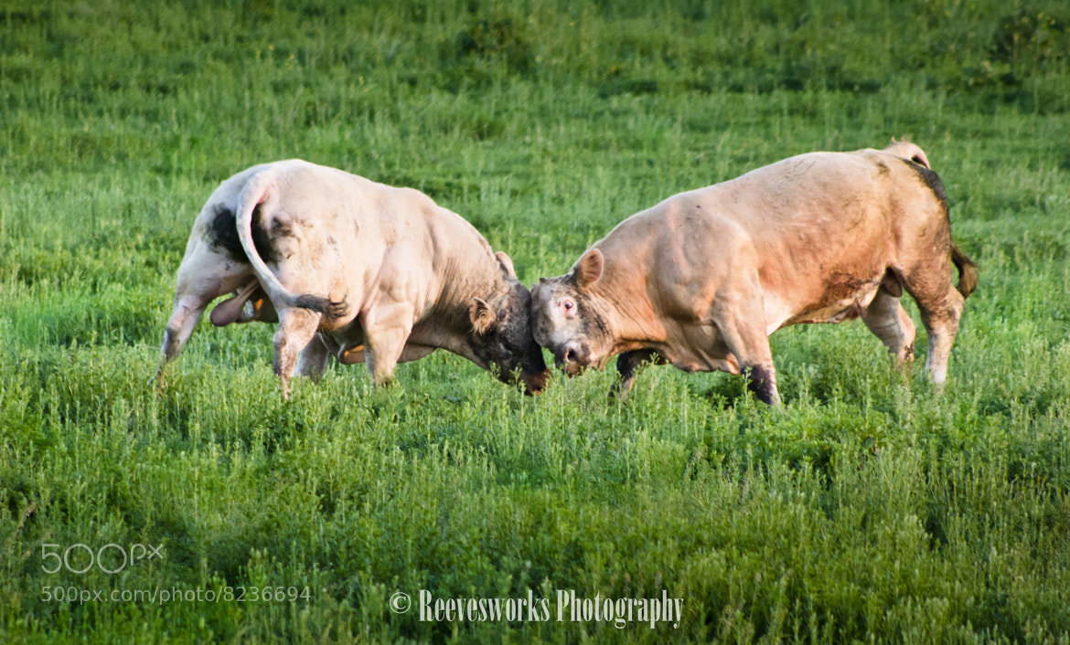 Photograph Bulls and balls by Michael Reeves on 500px