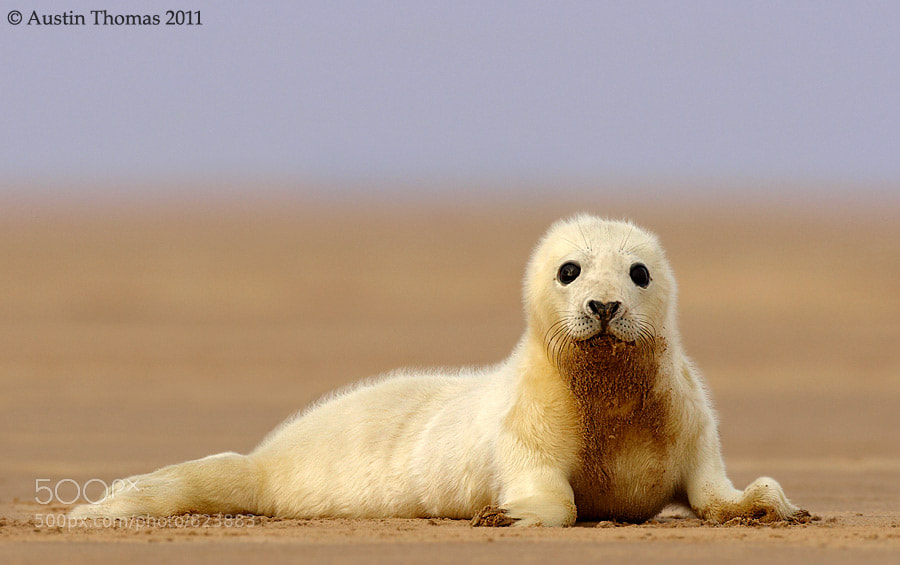 Photograph Seal pup by Austin Thomas on 500px