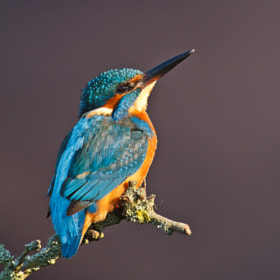 Evening sunlight (Kingfisher) by John Starkey (johnboy)) on 500px.com