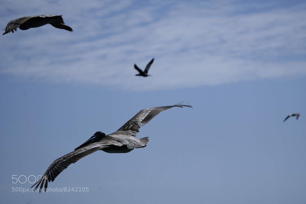 Photograph Flying Pelican by Cristobal Garciaferro Rubio on 500px