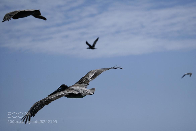 Photograph Flying Pelican by Cristobal Garciaferro Rubio on 500px