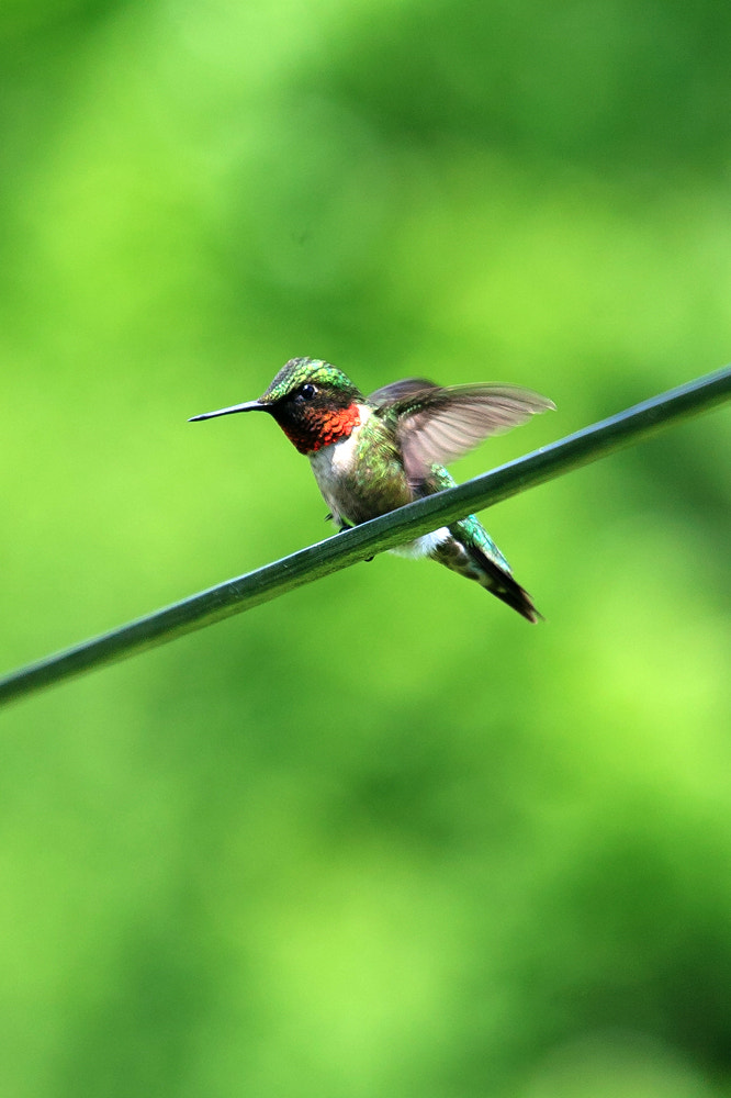 Photograph Hummingbird by Brooks Parssinen on 500px