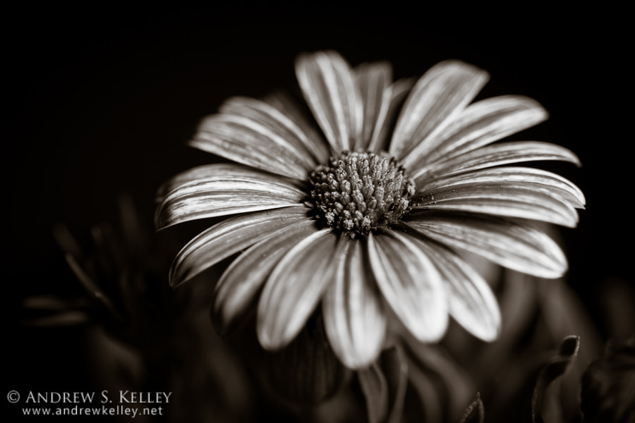 Photograph Monochrome Daisy by Andrew Kelley on 500px