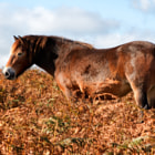 Постер, плакат: Exmoor Pony Pair