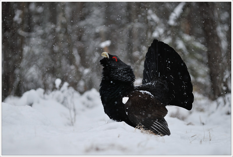 Photograph capercaillie by N Mikael Svensson on 500px