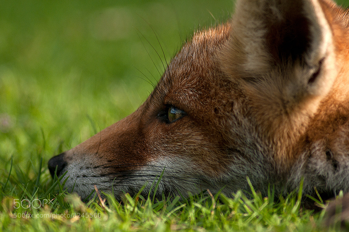Photograph Fox Youngster by Rob Janné on 500px