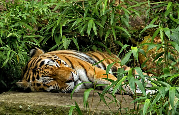Photograph tired tiger by pictures of memory on 500px