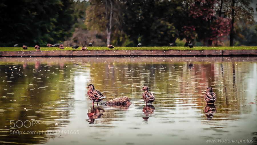 Photograph Ducks by Andrei Robu - RoSonic.photos on 500px