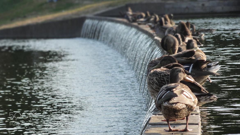Photograph Ducks by Ognjen Odobasic on 500px