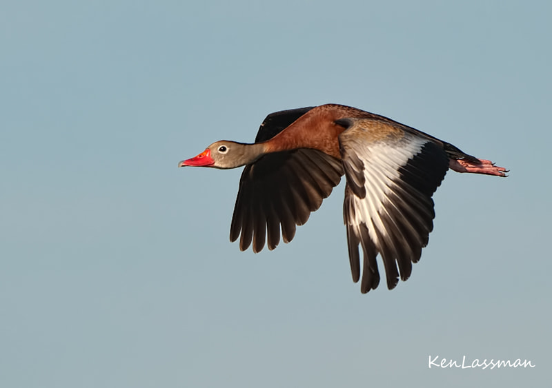 Photograph Black-bellied Whistling Duck by Ken  Lassman on 500px