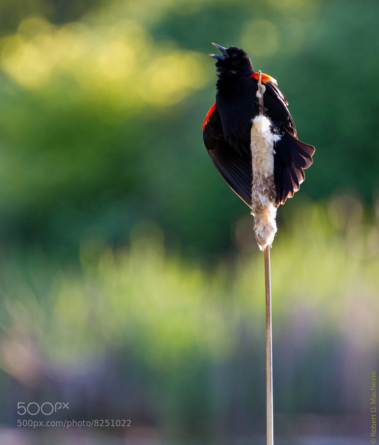 Photograph Sing Out! by Robert D. MacNevin on 500px