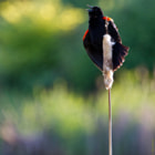 Red-winged blackbird singing at the end of the day.