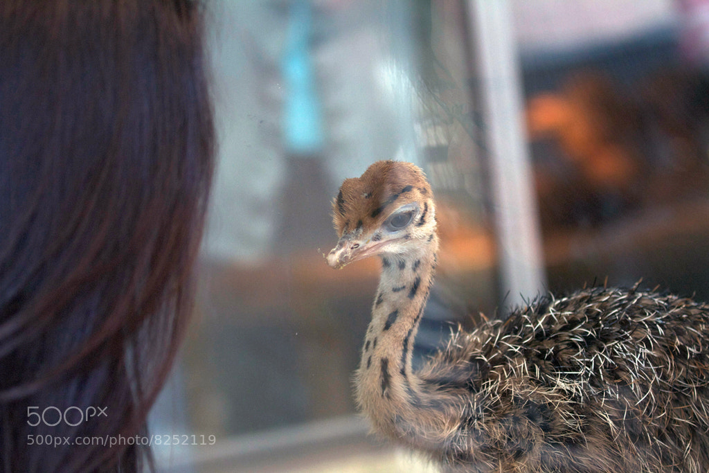 Photograph Baby Ostrich by Jarques Pretorius on 500px