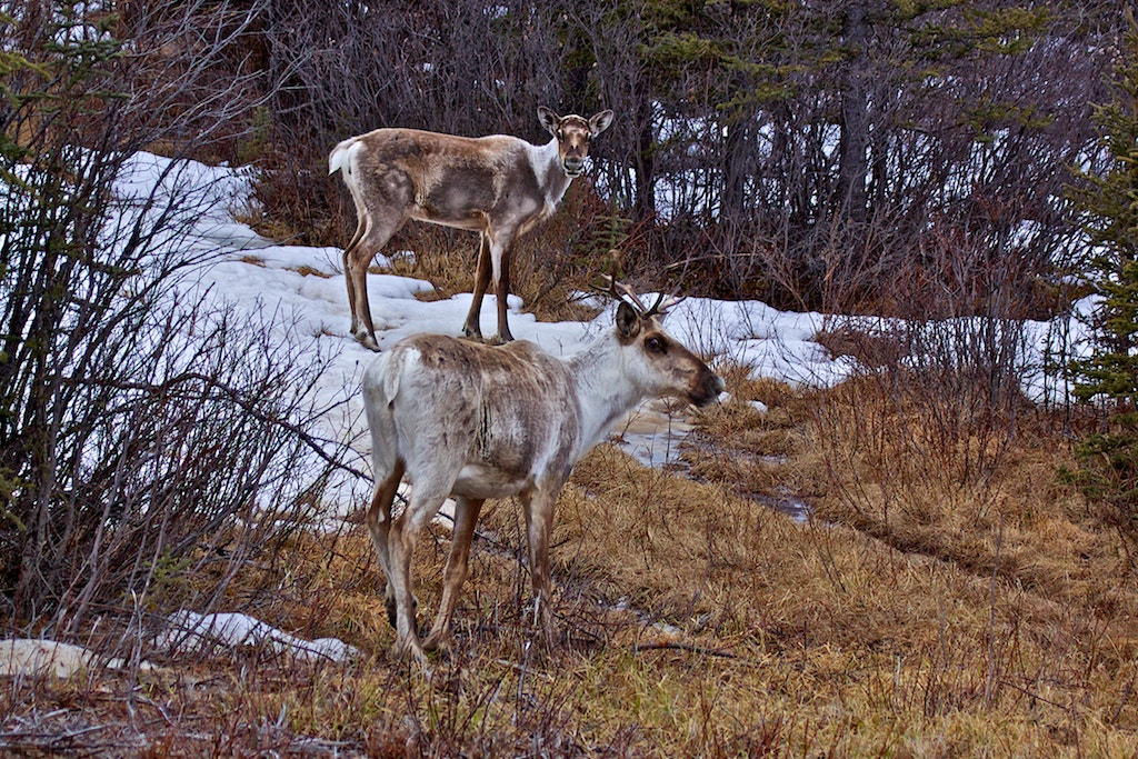 Photograph BC Caribou by Donna Shreck on 500px