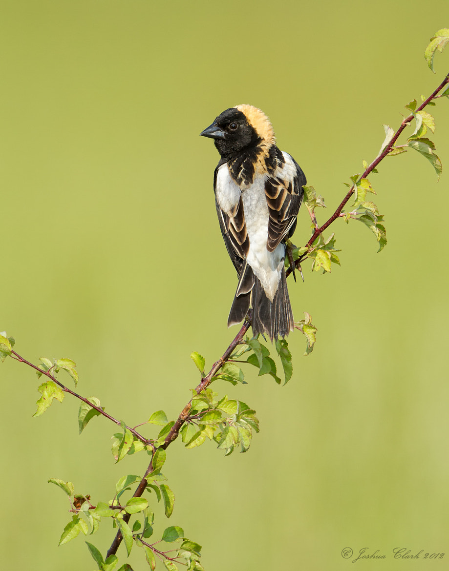 Photograph Male Bobolink by Joshua Clark on 500px
