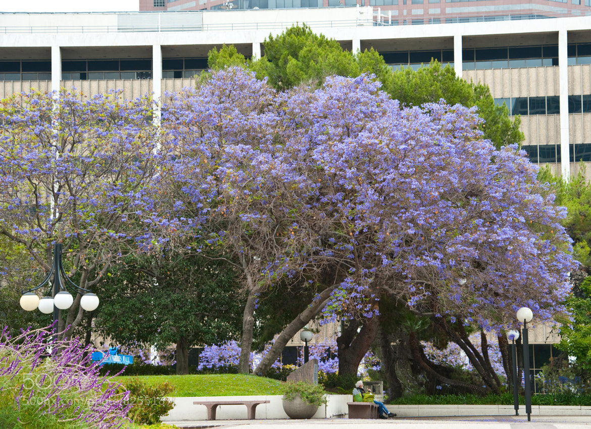 Photograph Jacaranda Lunch by Russell Lombardo on 500px