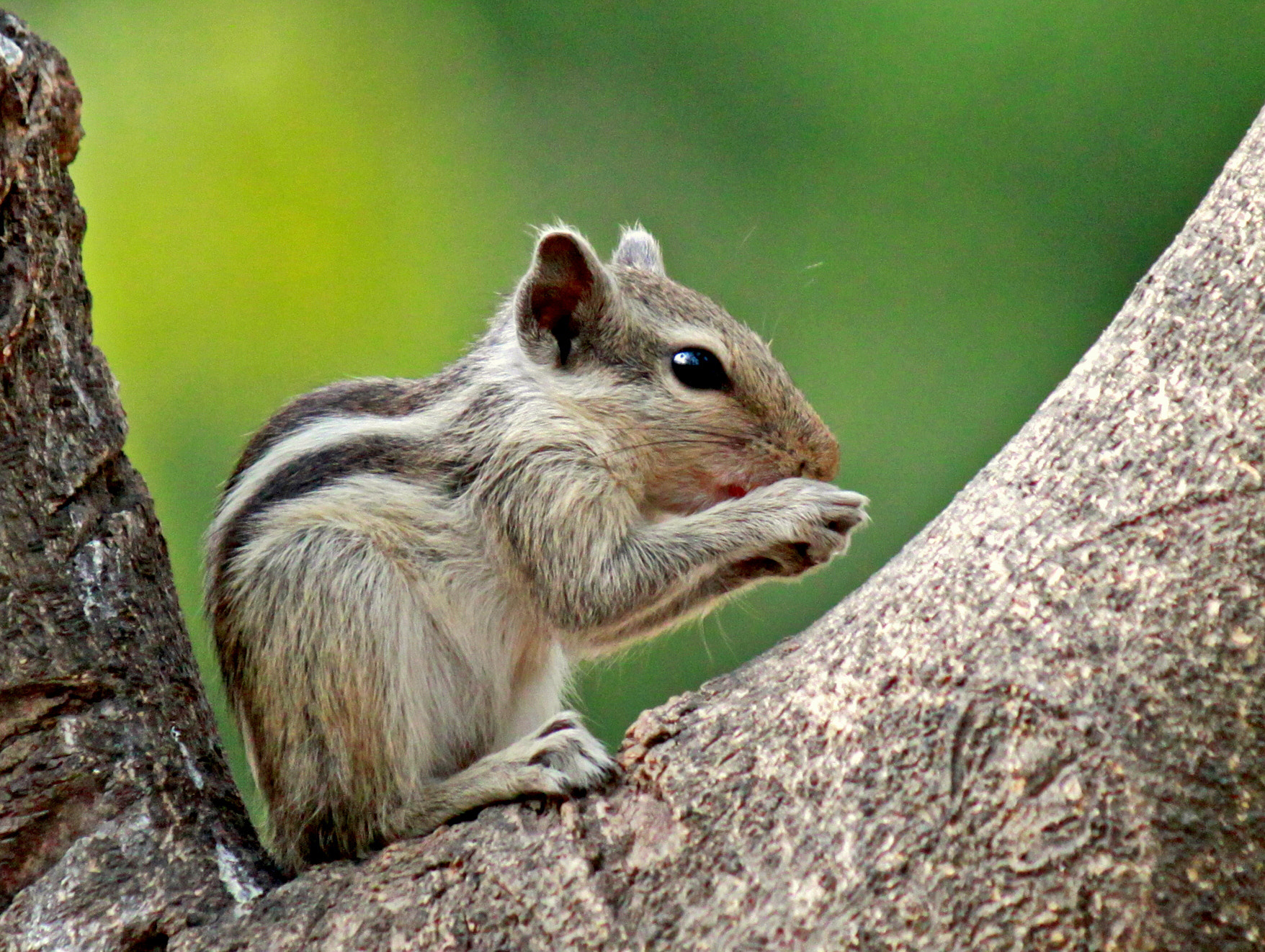 Photograph The squirrel series..  by Samrat  Mukhopadhyay on 500px