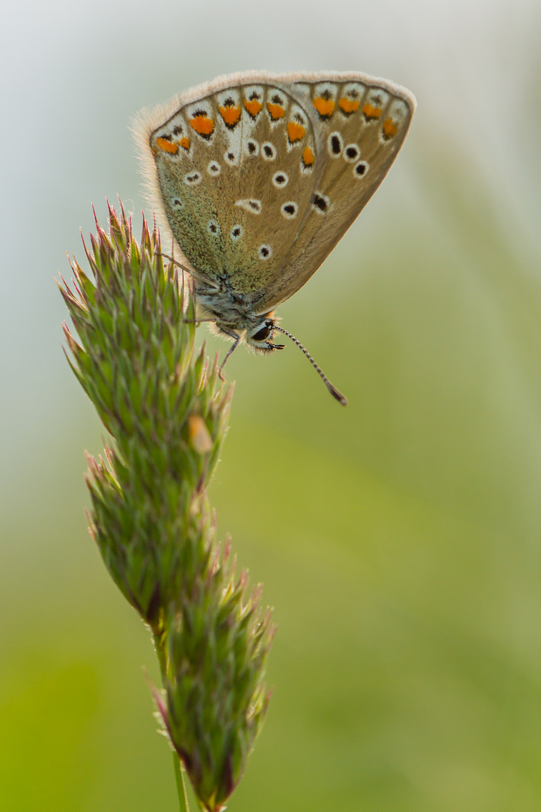 Photograph Polyommatus icarus by Markus _ on 500px