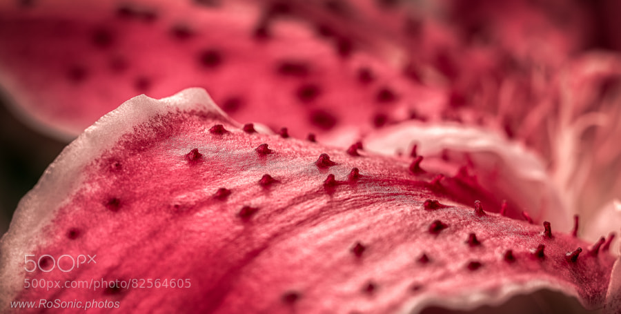 Photograph Stargazer Lily Petal by Andrei Robu - RoSonic.photos on 500px