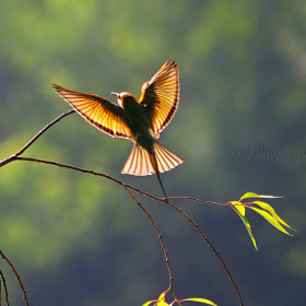Green Bee-Eater by raj dhage (rajdhage)) on 500px.com