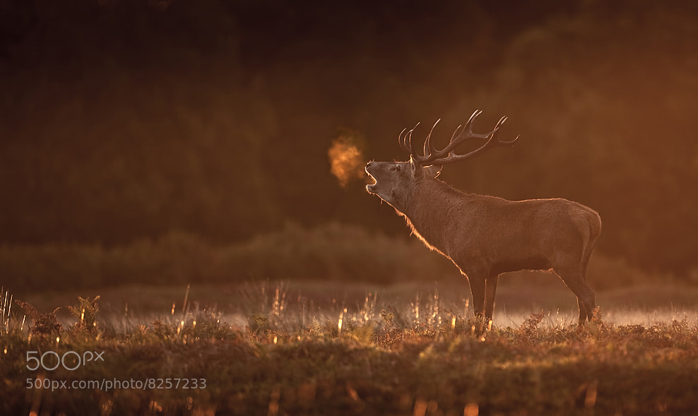 Photograph Stag at dawn by Keith Burtonwood on 500px