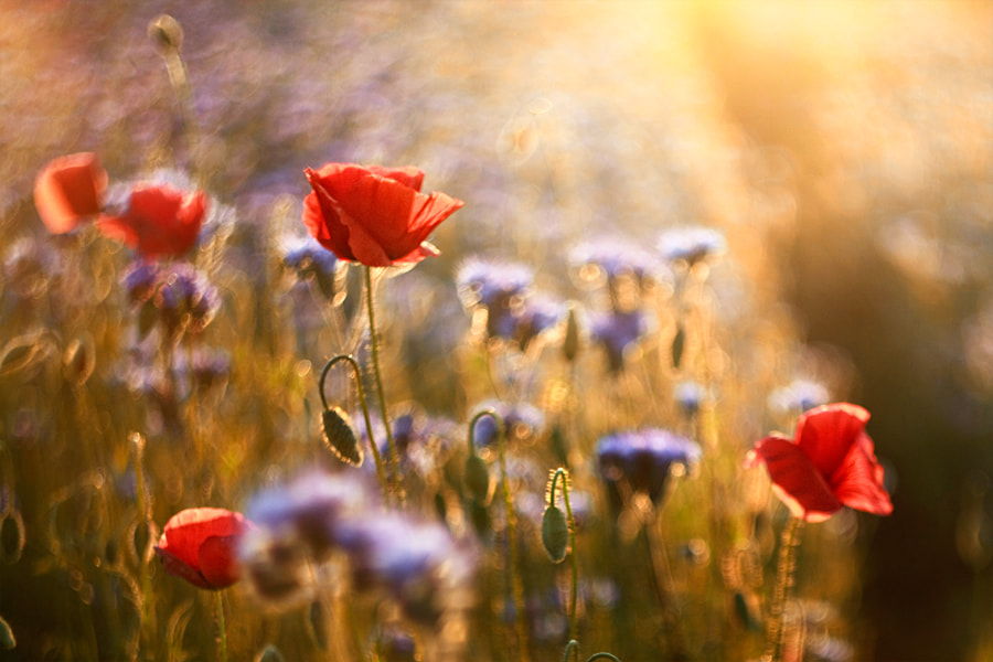 Photograph Poppyfield by Heaven Man on 500px