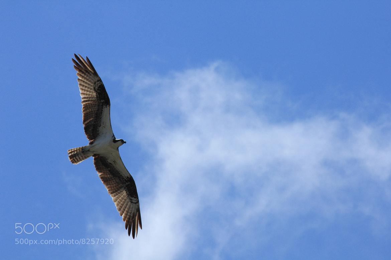 Photograph Osprey by Douglas McPherson on 500px