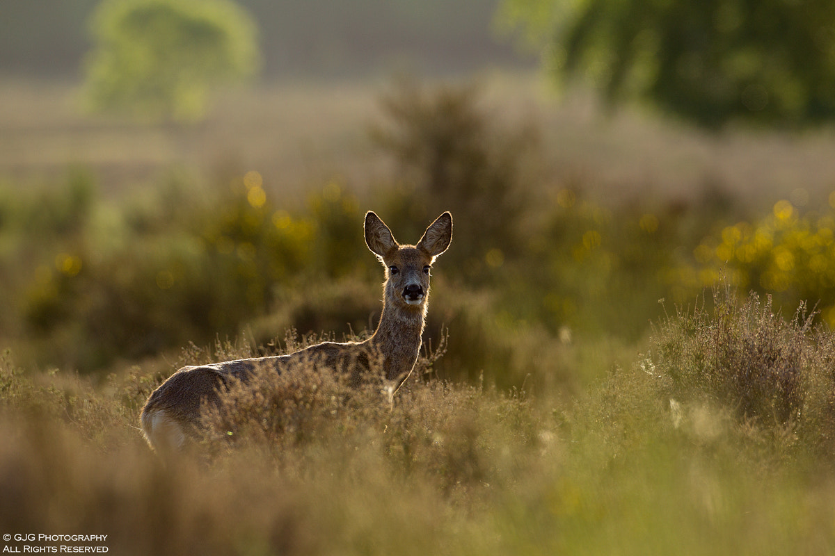 Photograph Backlit Roe by Graham Goddard on 500px