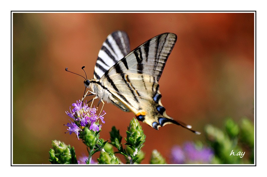 Photograph Iphiclides podalirius by HUSEYIN AY on 500px