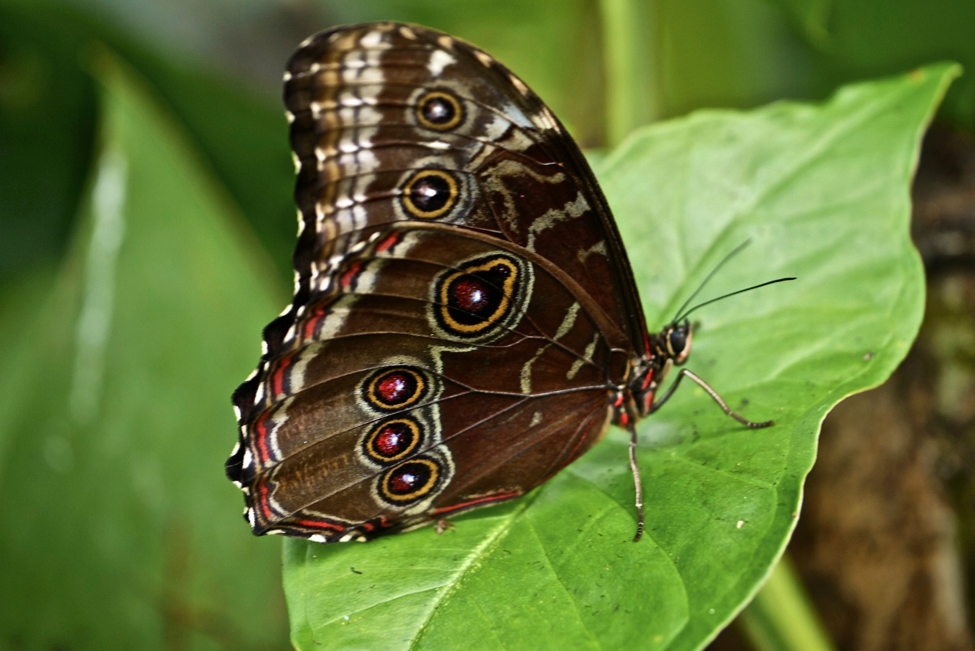 Photograph Blue Morpho by Ann Giles on 500px