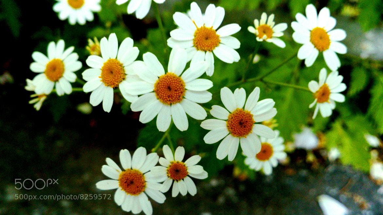 Photograph daisies by mustafa guler on 500px