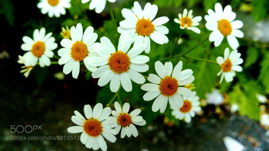 Photograph daisies by mustafa guler on 500px