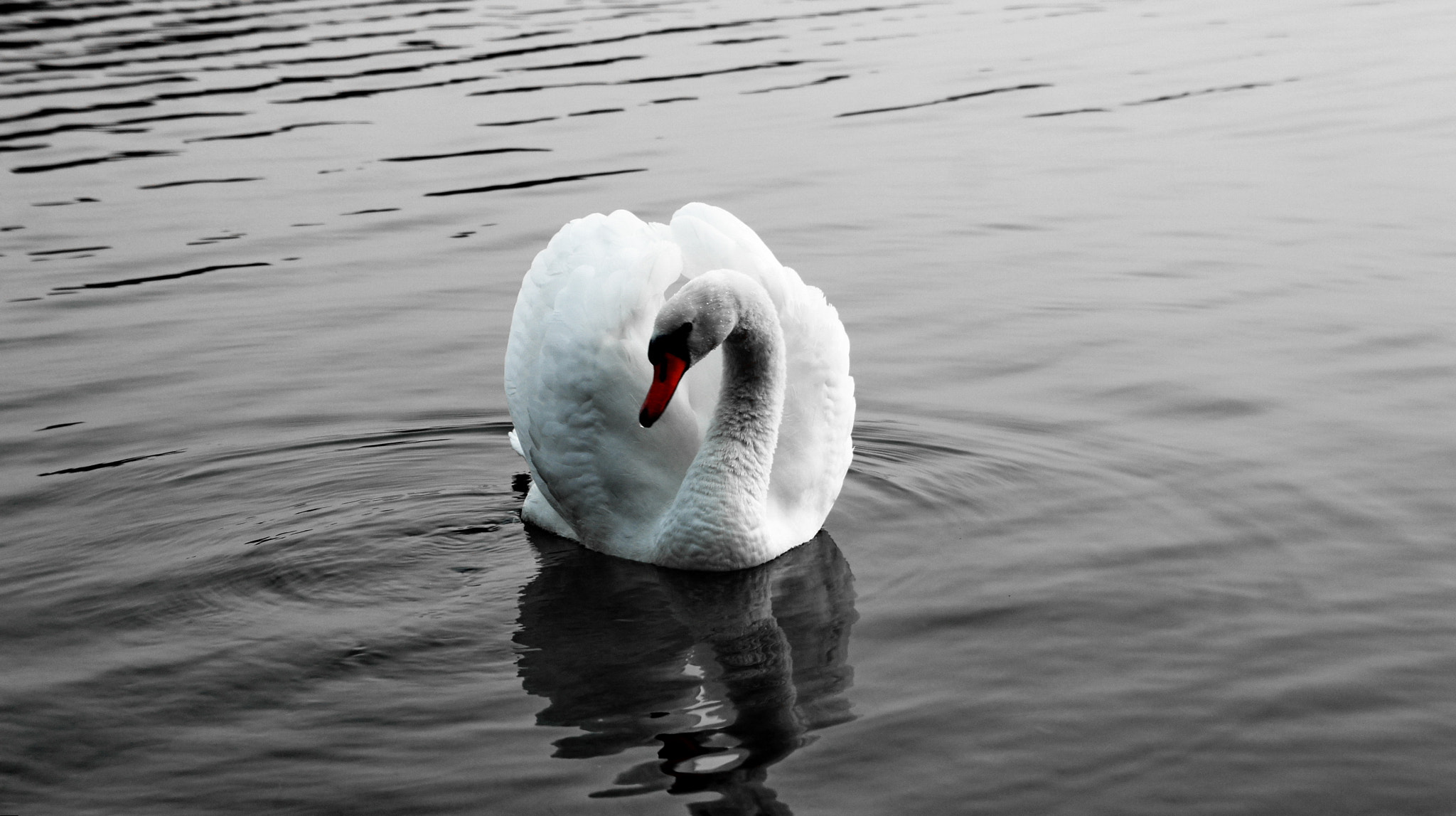 Photograph Swan by Hiwa  on 500px