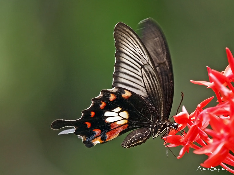 Photograph  Papilio polytes by Anan Suphap on 500px