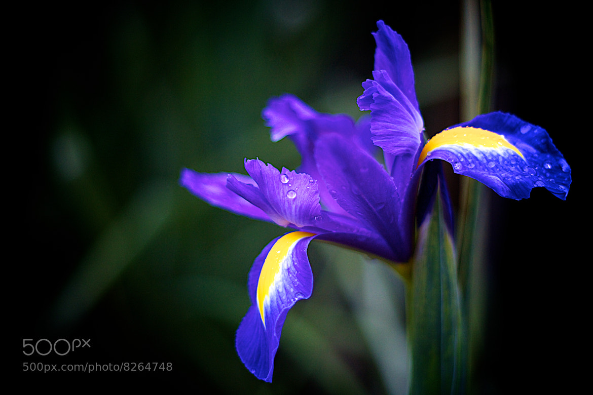 Photograph Dutch Iris by James Johnson on 500px