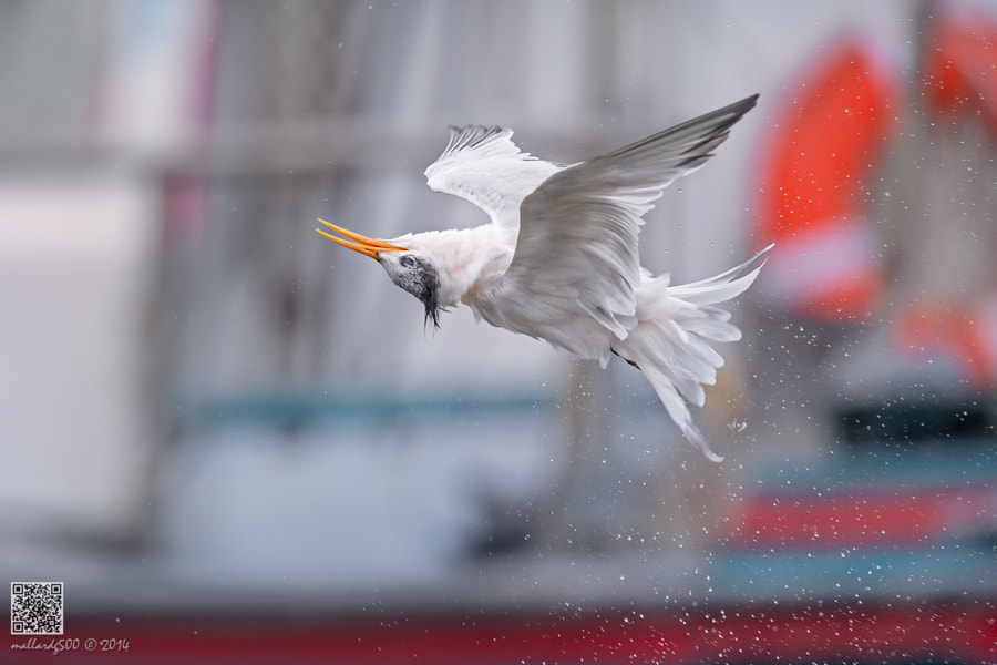 Photograph Turn Tern Turn!! by Phoo (mallardg500) Chan on 500px