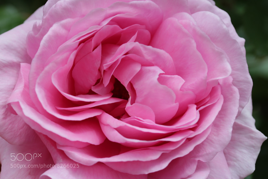 Photograph Pink Rose by Jean Allenet on 500px