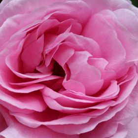 Pink Rose by Jean Allenet (JeanAllenet)) on 500px.com