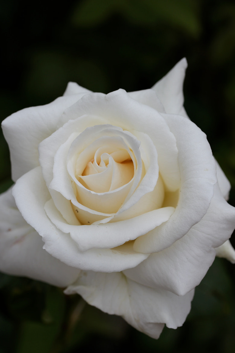 Photograph White rose by Jean Allenet on 500px