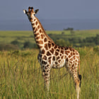 Постер, плакат: Giraffe in the savanna